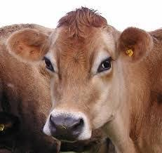brown cow face. Modren Face Ahhhha New Daya Somewhat Recovered Hubs Inside Brown Cow Face R