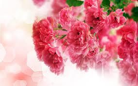 carnation flower 1080p 2k 4k 5k hd