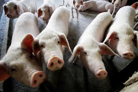 Can China Learn From Russia And Save Its Pigs From African