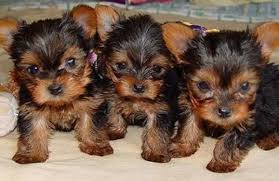 cute yorkie puppies for sale. Fine For Cute Yorkie Puppies For Rehoming  Dogs Sale In Agathiyar Nagar Chennai  Clickin On