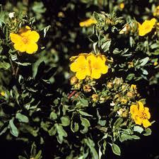 Potentilla fruticosa, Bush Cinquefoil - Plant Database - University of ...