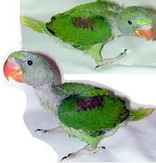 Baby Joplin Hatched Feb 25th 2003 Alexandrine Parakeet