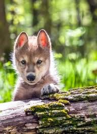 cute baby wolf in the wild. Young Wolf Cub Beautiful Wolves Animals Wild Cute Baby Inside In The