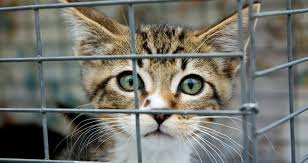cats in animal shelters. Interesting Shelters Animal Rescue And Shelter What Is The Difference Intended Cats In Shelters T