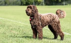 Labradoodle The Complete Dog Breed Information Guide All