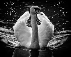 白鳥 翼 羽毛 Pixabayの無料写真