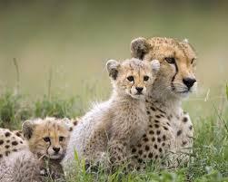 wild baby animal wallpaper.  Baby Cheetah Family  Wildanimals Wallpaper Inside Wild Baby Animal A
