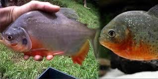 Gambar Ikan Bawal Laut