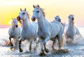 white horses. Beautiful Horses White Horses At Sunset 1000 Piece Educa Jigsaw Puzzle In O