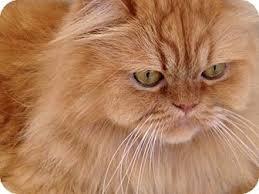 orange persian cat. Brilliant Orange Adopted On Orange Persian Cat R