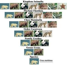 Bear Classification Chart Pin By Susan Risinger On Animals Taxonomy Nomenclature
