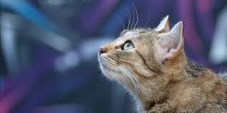Feline Immunodeficiency Virus Fiv International Cat Care