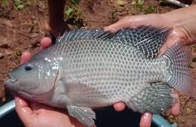 Tilapia Fish Farming Information Guide Agri Farming