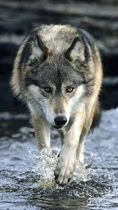 wolf iphone 5 wallpaper. Plain Wolf HD IPhone 5 Retina Optimized Wallpapers For Your IPhone Now With Parallax   Jolanta Wolowicz Pinterest Animals Wolf And Animals Beautiful Intended Iphone Wallpaper L