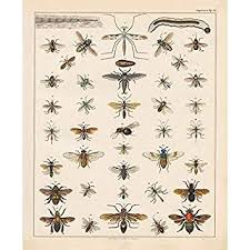 Bee Identification Chart Uk Vintage Poster Print Art Insects Identification Reference