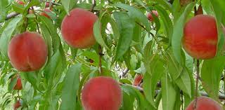 Best Fruits To Grow In Pots  Fruits For Containers  Balcony What Fruit Trees Grow In Michigan