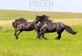 black horses running in a field. Plain Running Friesian Horse Two Black Horses Running In Field Livingston Montana USA   On Black Horses Running In A Field I