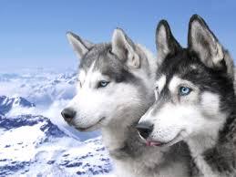 husky puppy wallpaper desktop. Exellent Wallpaper Siberian Husky Puppies Wallpaper In Puppy Desktop