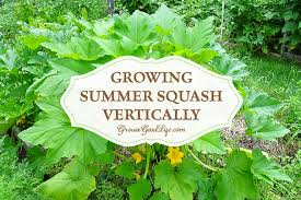 growing summer squash vertically by trellising or in tomato cages helps to save space encourages