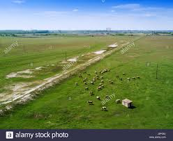 grass field aerial. Aerial View Of Cows Herd Grazing On Pasture Field, Drone Point Grass Field