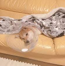 犬 の 避妊 手術 術 後