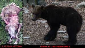 Image result for oso goiat