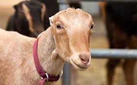 Lamancha Goats Are A Milk Breed That Are Born With Small