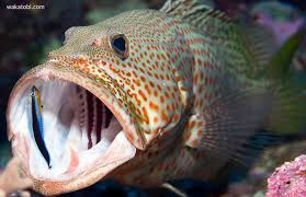 Image result for wrasse cleaner fish