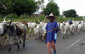 Image result for Fulani cattle