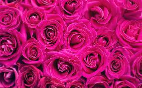 hd wallpaper beautiful roses flowers