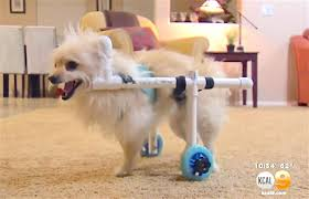 man saves thousands with 40 wheelchair to get little dog moving again watch