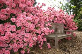 Image result for rose bushes