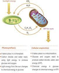 65 best Cellular Respiration images on Pinterest | Cell biology ...