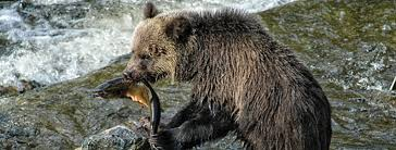 Grizzly Bear Classification Chart Bears Food And Diet Bearsmart Com
