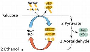 Adp Conversion Chart Cellular Metabolism And Fermentation