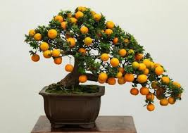 Grow Full Size Fruits In A Fraction Of The Area With Bonsai TreesFull Size Fruit Trees For Sale