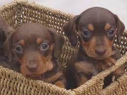 chocolate and tan miniature dachshund puppies nelson lancashire