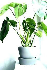 create an indoor jungle with these massive plants large houseplants low light house tall common unusual tall house plants