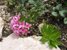 Daphne cneorum - Wikipedia