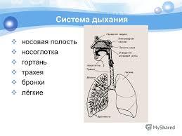 Презентация на тему logo Окружающий мир класс Тема Органы  4 Система дыхания носовая полость носоглотка гортань трахея бронхи лёгкие