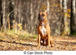 Adorable red dog walks in park at autumn. Red american staffordshire terrier with cropped ears walks outdoor in autumn park.