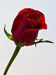 beautiful single red rose wallpapers