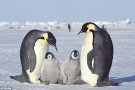 real emperor penguin. Perfect Real Researchers Have Warned That Emperor Penguins Could Face Extinction Due To  Melting Sea Ice With Real Emperor Penguin 0