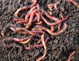 earthworms in soil learn about the benefits of garden worms