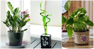 great office plants. top 5 plants to bring goodluck feng shui best office boost your happiness great