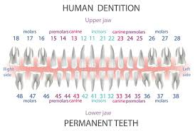 Dental And Periodontal Charting Dental Periodontal Charting Stock Illustrations 7 Dental