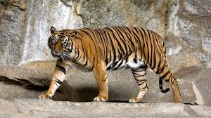 Villagers Cite Self Defense In Tiger Killing But Missing Body Parts