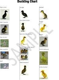 Baby Identify Charts Duck Breeds Duck Coop Backyard Ducks