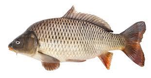 Carp Fish Facts | AZ Animals
