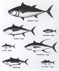 Tuna Fish Size Chart Tuna Wikipedia